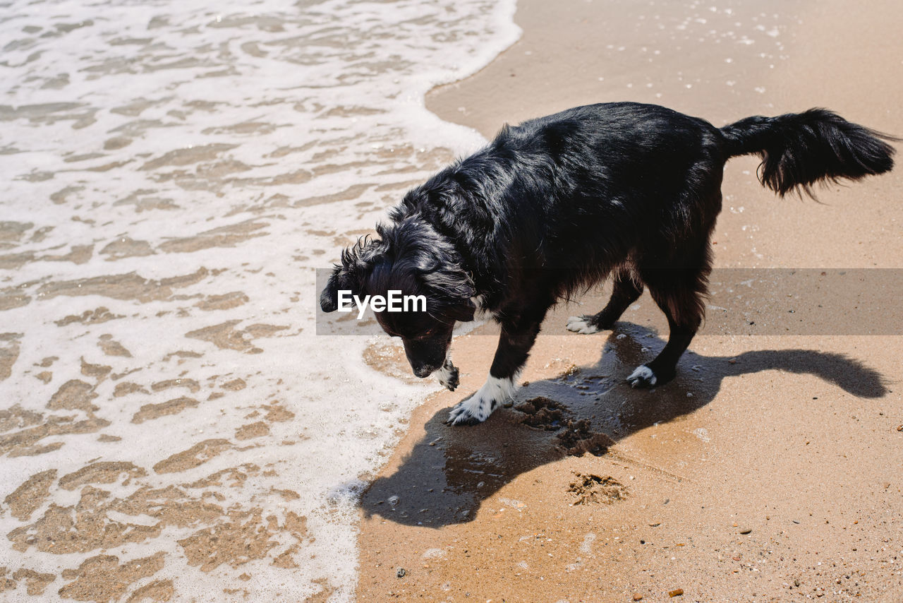 one animal, animal themes, domestic, pets, domestic animals, animal, mammal, canine, dog, beach, sand, water, land, vertebrate, black color, motion, nature, high angle view, wet, no people, outdoors