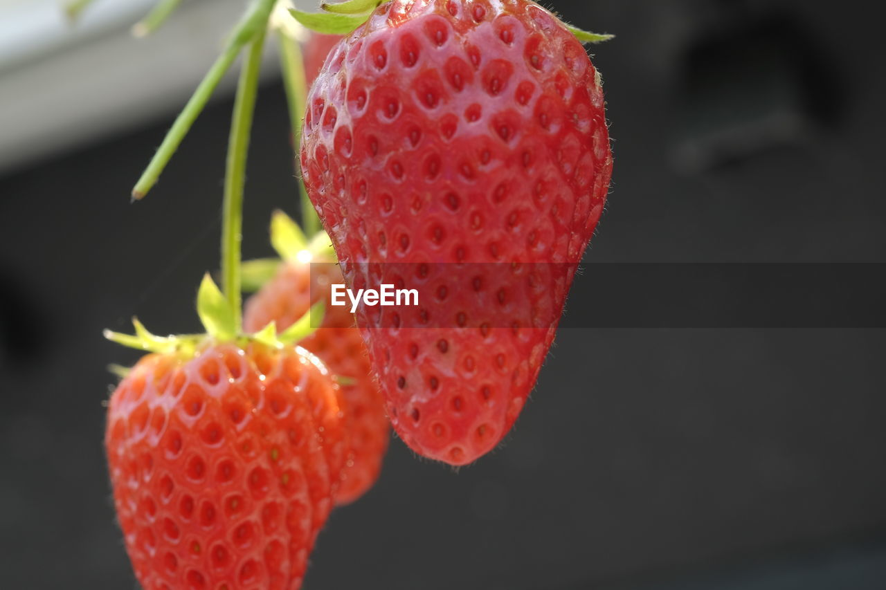 fruit, freshness, growth, red, strawberry, close-up, food and drink, food, healthy eating, focus on foreground, nature, no people, day, beauty in nature, outdoors, water