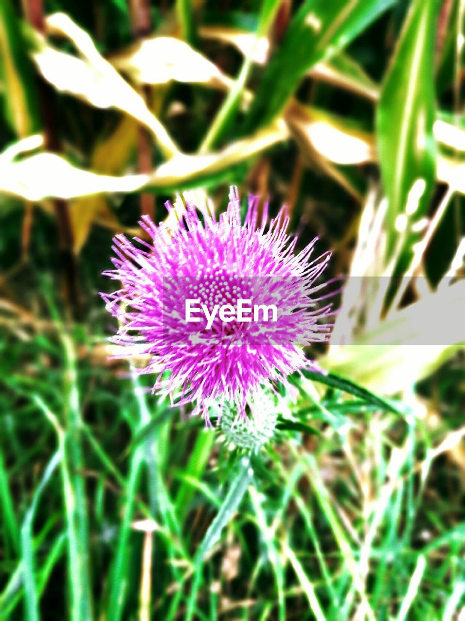 flower, purple, growth, field, nature, beauty in nature, fragility, plant, freshness, flower head, no people, grass, thistle, focus on foreground, outdoors, green color, day, close-up, blooming