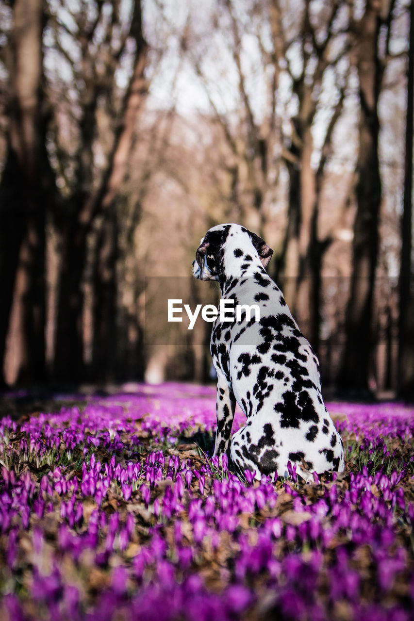 one animal, animal themes, animal, plant, mammal, beauty in nature, nature, flowering plant, flower, day, domestic animals, dalmatian dog, spotted, vertebrate, selective focus, no people, pets, land, dog, canine, outdoors, purple, purebred dog