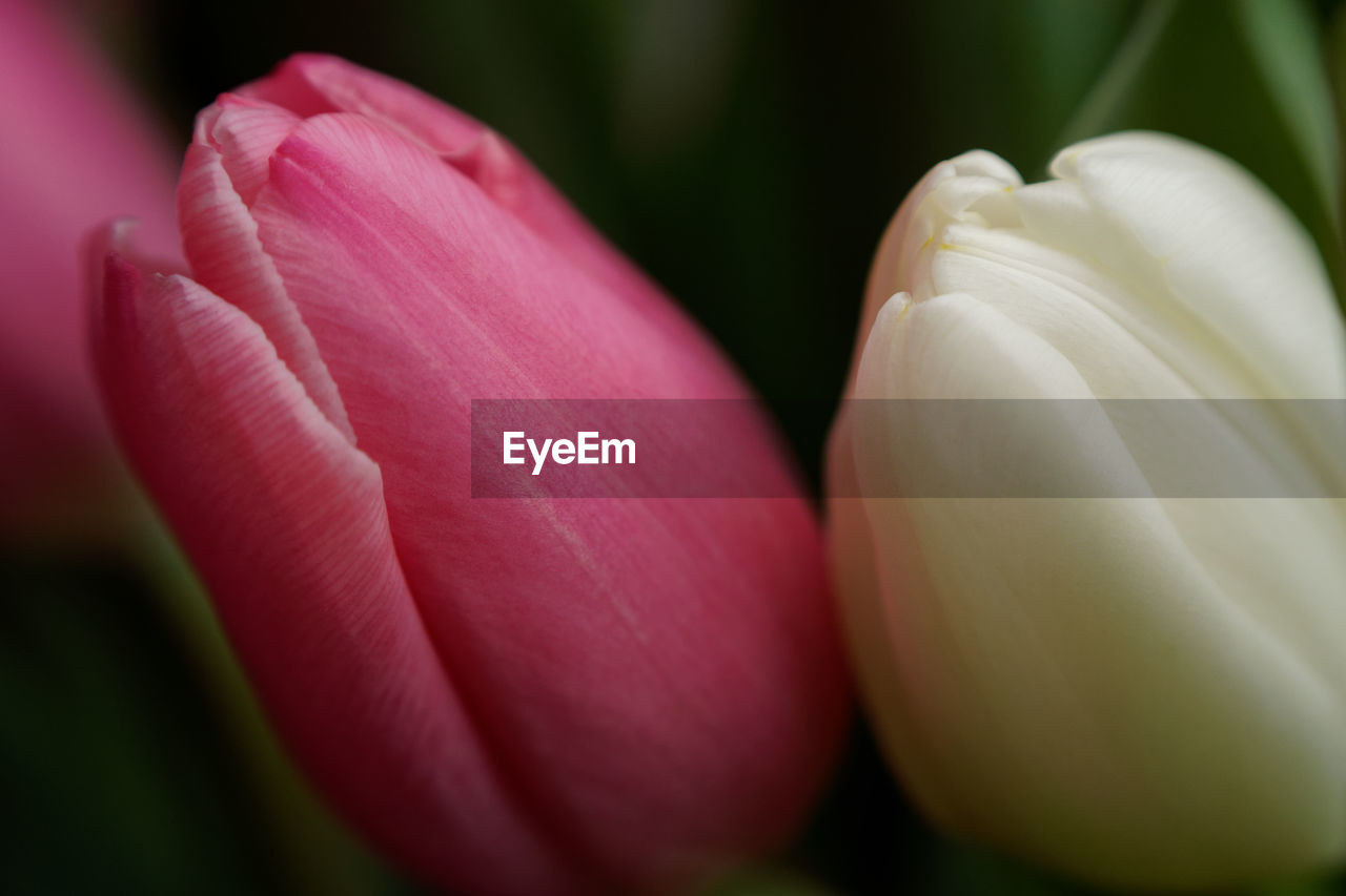 flower, flowering plant, freshness, vulnerability, close-up, fragility, beauty in nature, petal, plant, flower head, pink color, inflorescence, no people, growth, nature, focus on foreground, day, selective focus, tulip