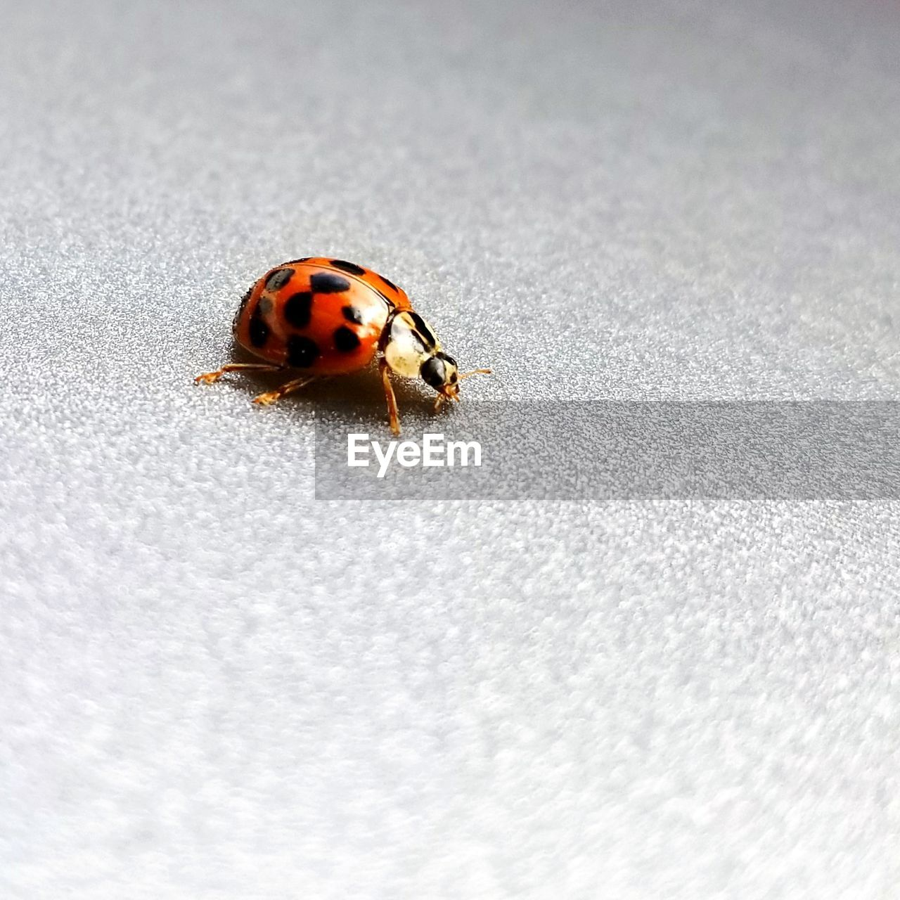 animal themes, one animal, insect, animals in the wild, close-up, ladybug, animal wildlife, no people, day, outdoors, tiny, nature
