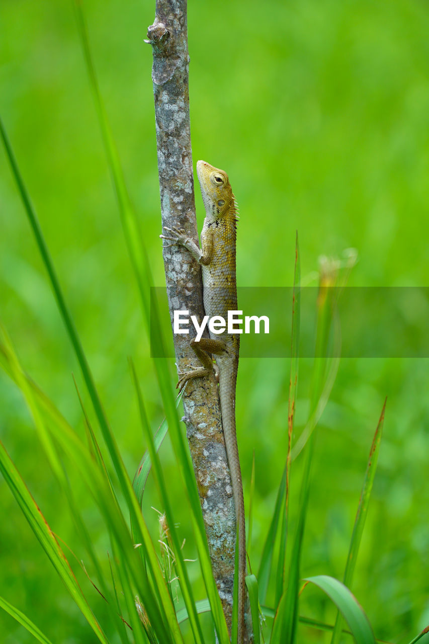 animal, plant, animal wildlife, one animal, animals in the wild, animal themes, vertebrate, green color, no people, reptile, nature, lizard, day, close-up, grass, focus on foreground, growth, outdoors, selective focus, frog, blade of grass