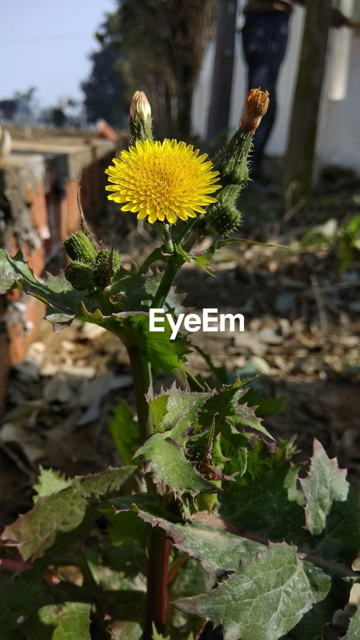 plant, growth, flowering plant, flower, leaf, plant part, fragility, vulnerability, beauty in nature, freshness, yellow, focus on foreground, close-up, nature, flower head, inflorescence, petal, no people, day, green color, outdoors, pollen, sunflower