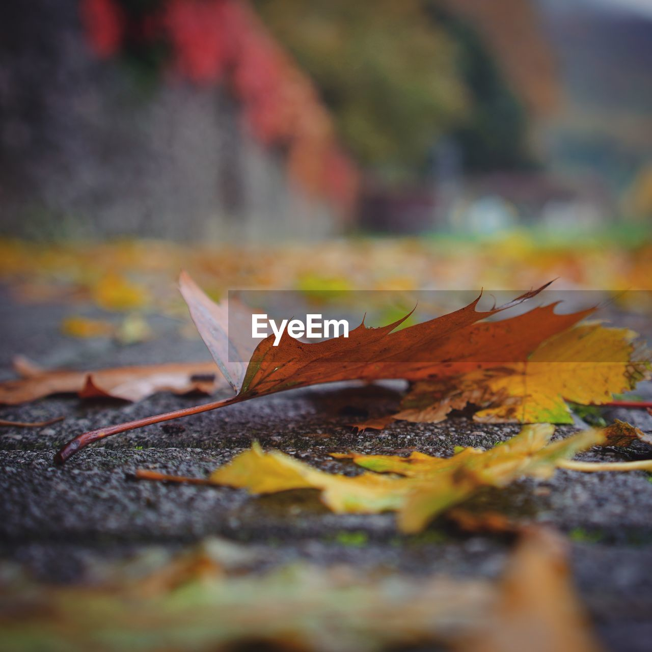 leaf, plant part, autumn, change, selective focus, close-up, nature, dry, falling, day, leaves, no people, orange color, maple leaf, plant, beauty in nature, outdoors, field, vulnerability, land, surface level, natural condition, autumn collection, fall