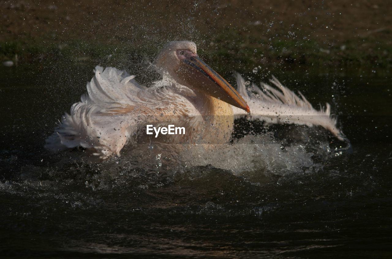 Pelican Flapping Wings At Lake