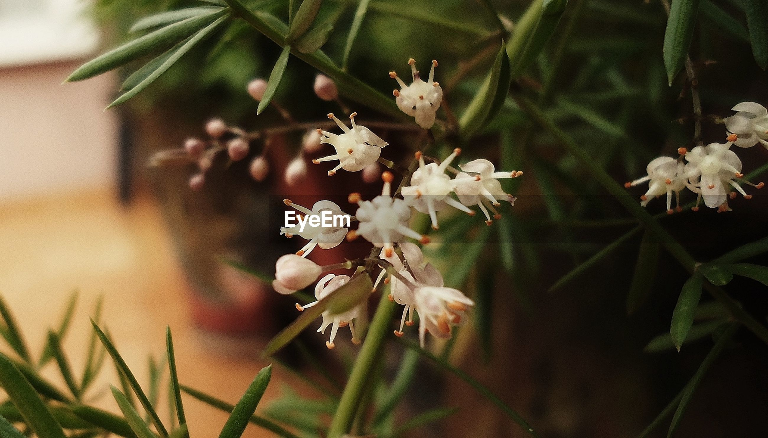flower, freshness, growth, fragility, petal, white color, beauty in nature, close-up, focus on foreground, flower head, plant, nature, leaf, blooming, in bloom, blossom, selective focus, stem, bud, stamen