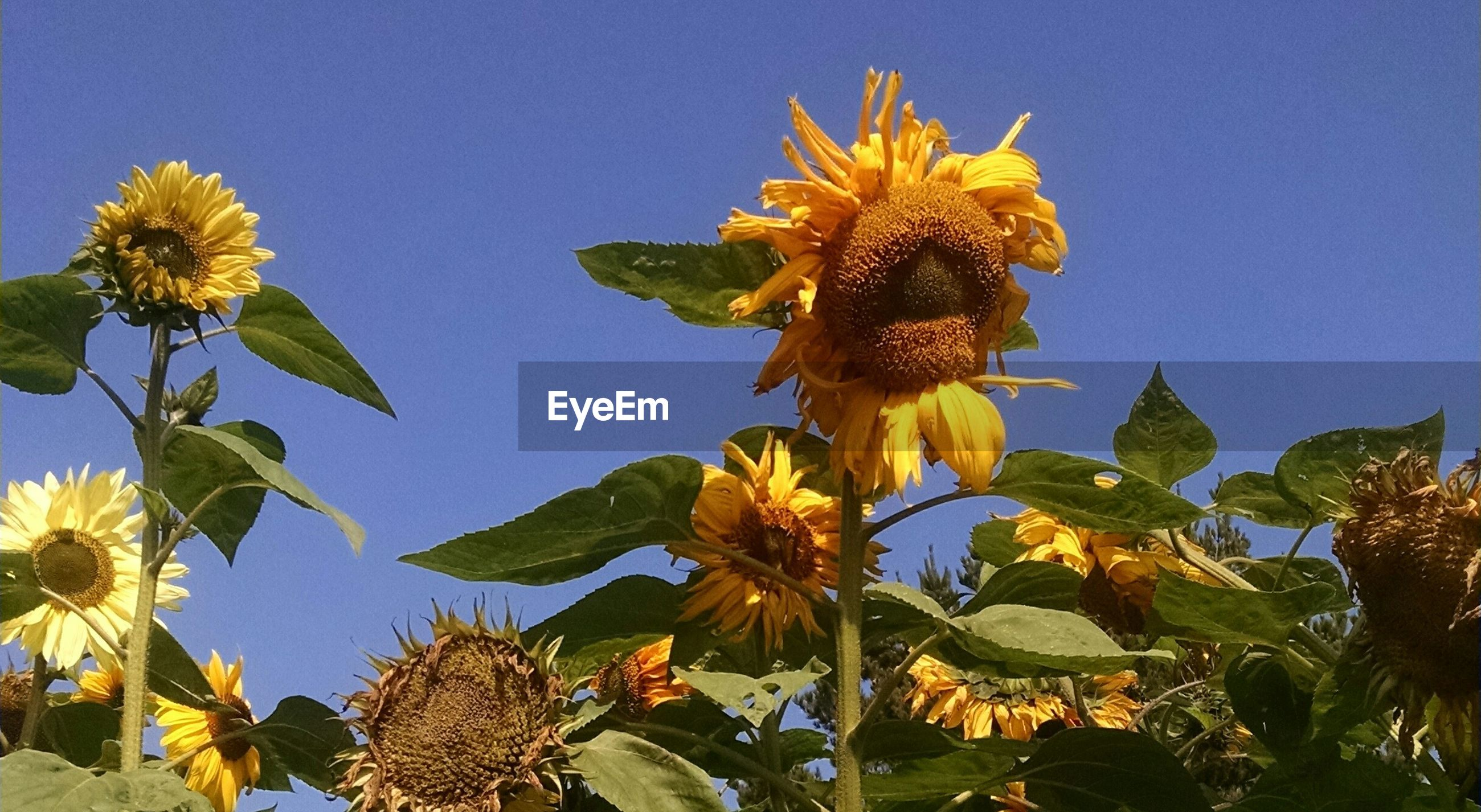 Low angle view of sunflowers growing on field against sky