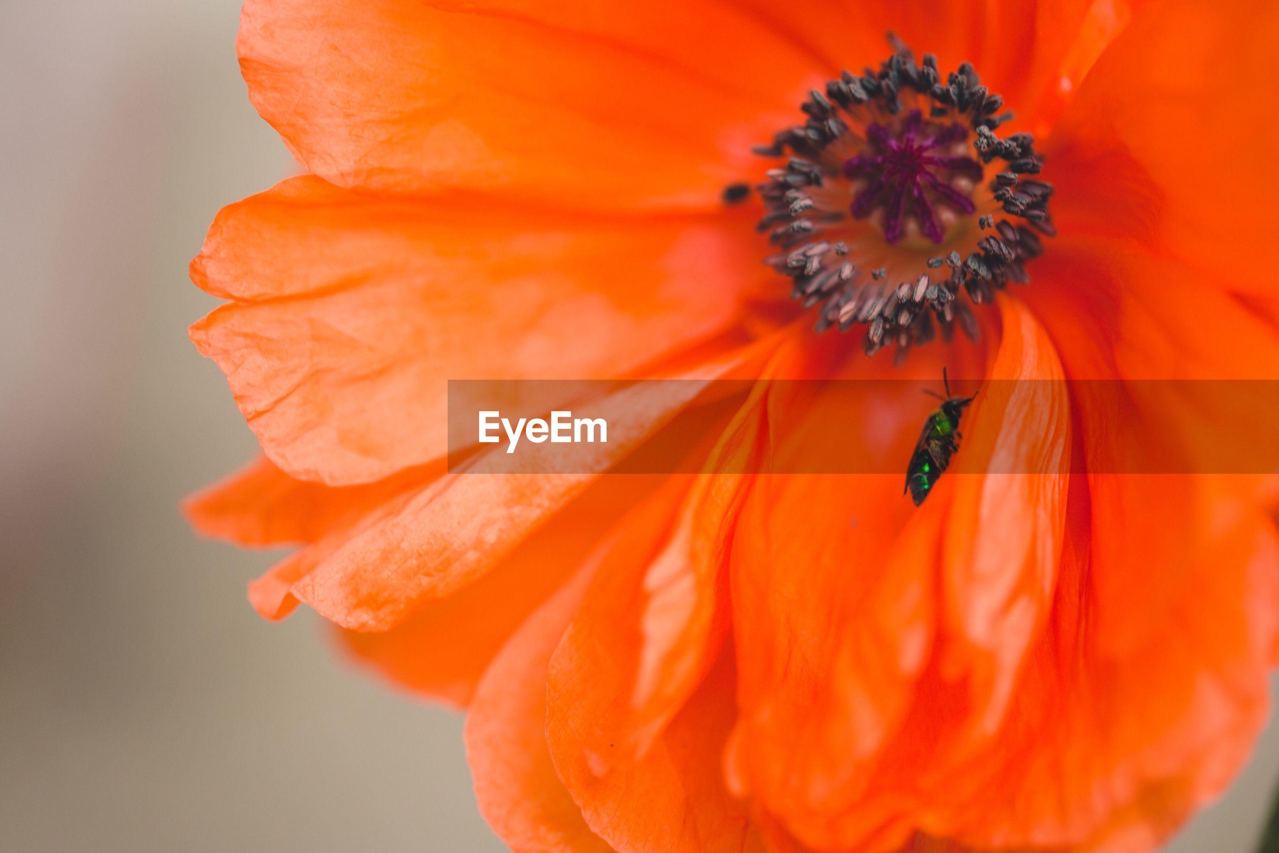 Bee on poppy petal