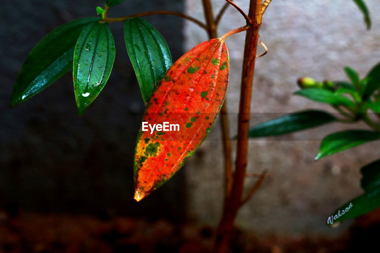 leaf, red, nature, orange color, beauty in nature, growth, green color, no people, outdoors, day, close-up, autumn, focus on foreground, freshness, maple leaf, fragility, water, maple