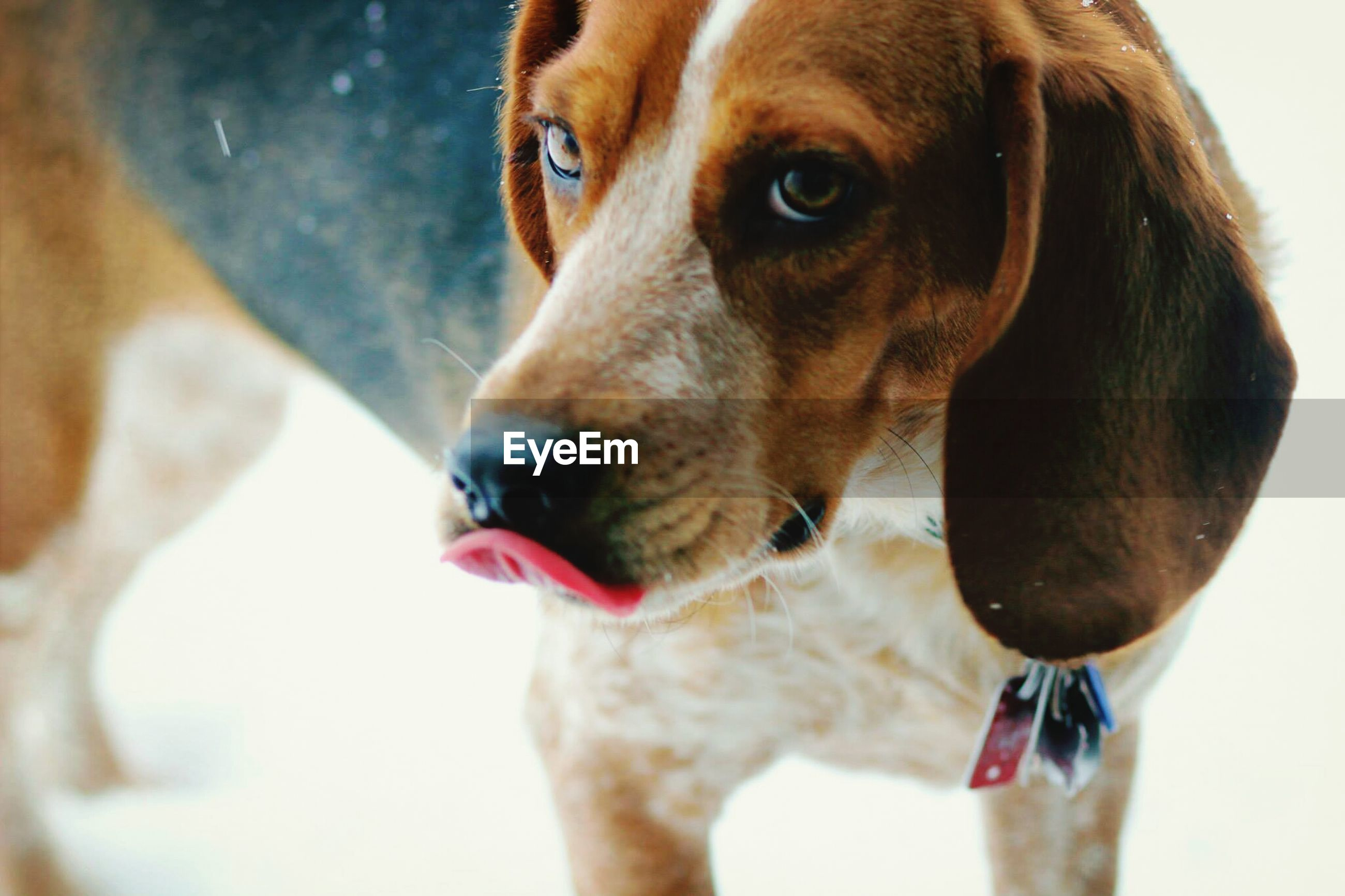 pets, dog, domestic animals, animal themes, one animal, mammal, looking at camera, indoors, portrait, close-up, animal head, pet collar, focus on foreground, sticking out tongue, cute, red, mouth open, no people, brown