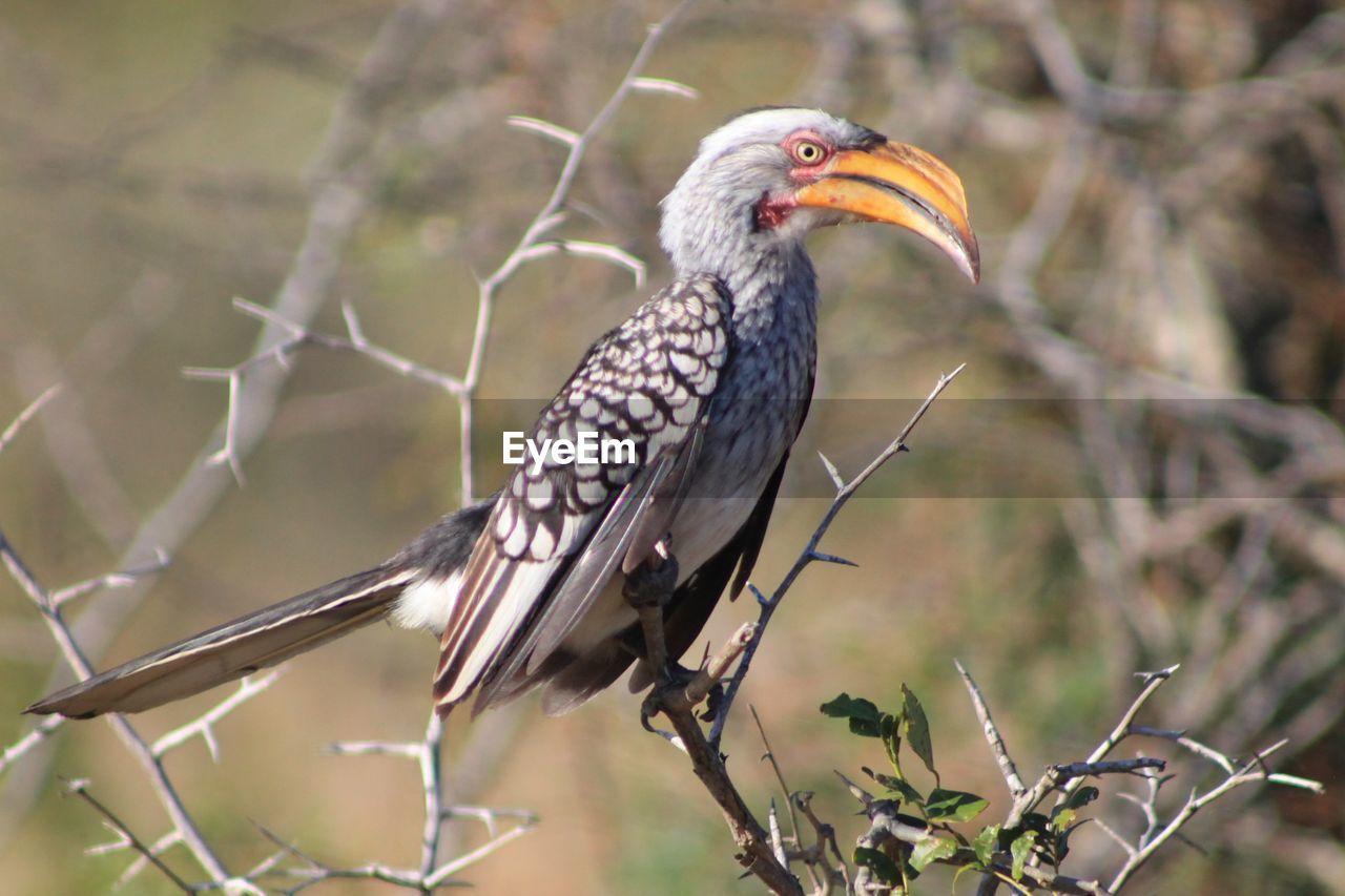 Hornbill Perching On Bare Tree