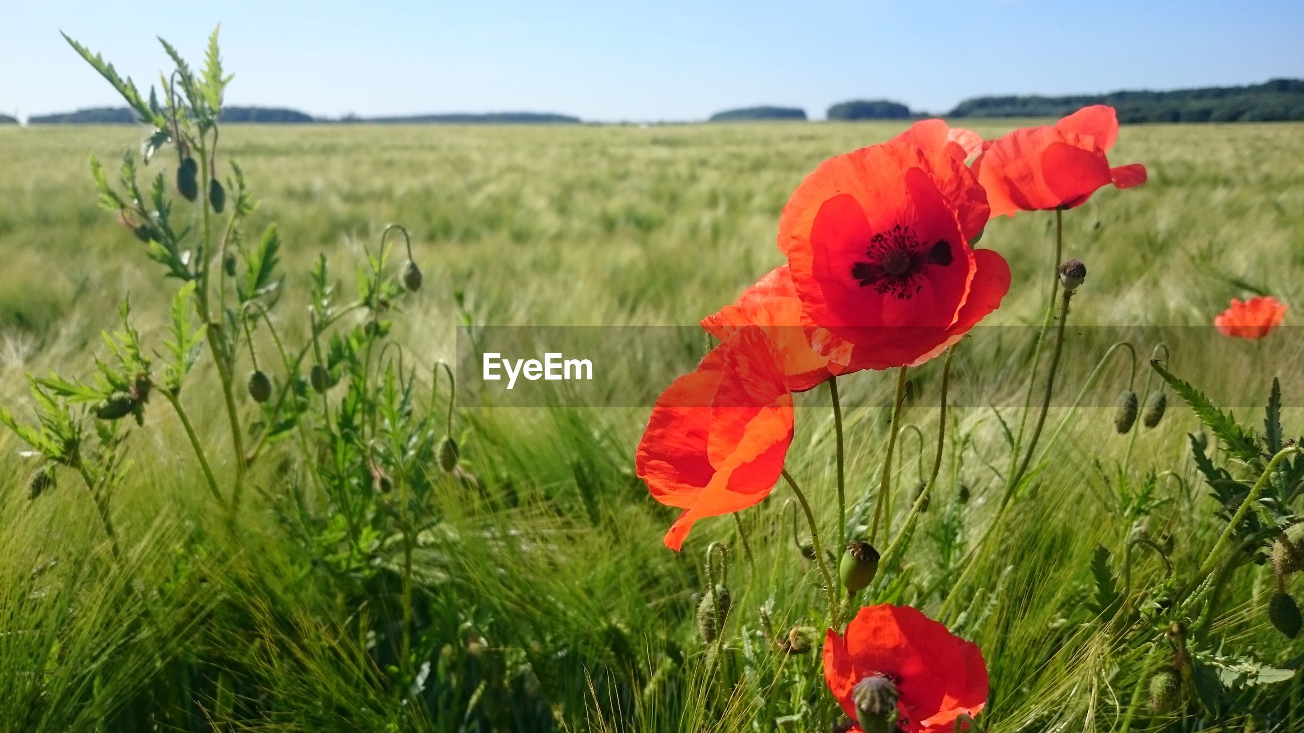 CLOSE-UP OF RED POPPY FLOWER IN FIELD