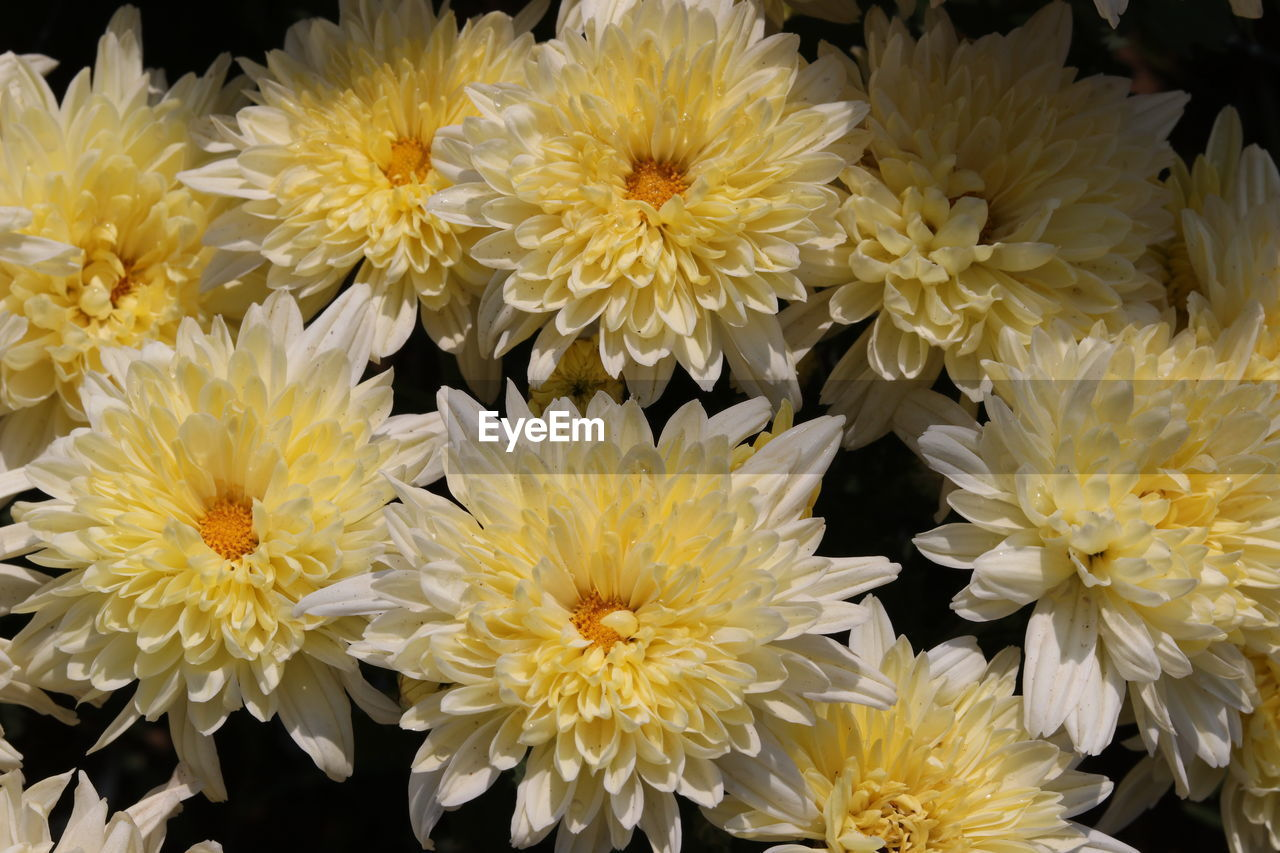 flower, fragility, petal, freshness, flower head, beauty in nature, yellow, nature, no people, close-up, growth, flower market, full frame, blooming, chrysanthemum, outdoors, plant, backgrounds, day