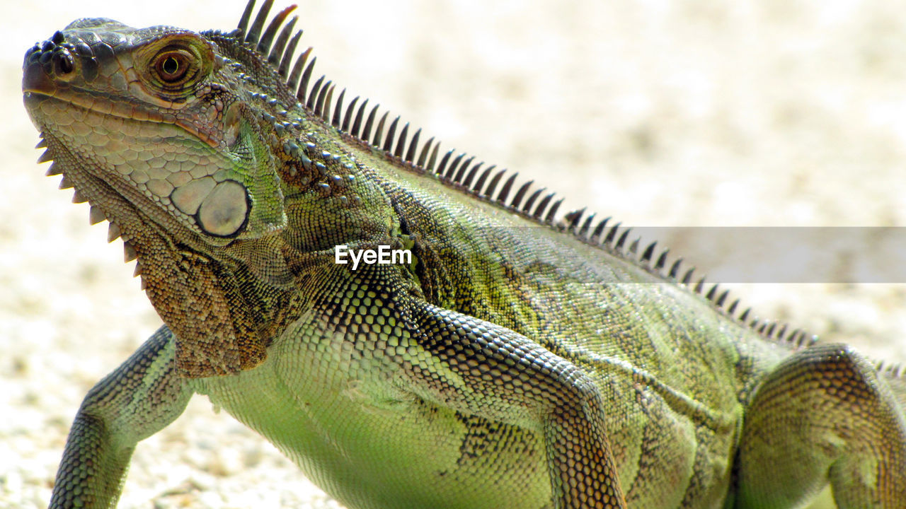 animal, animal themes, lizard, one animal, reptile, animal wildlife, animals in the wild, vertebrate, close-up, iguana, focus on foreground, no people, day, animal body part, outdoors, nature, green color, animal scale, looking, looking away, animal head, profile view