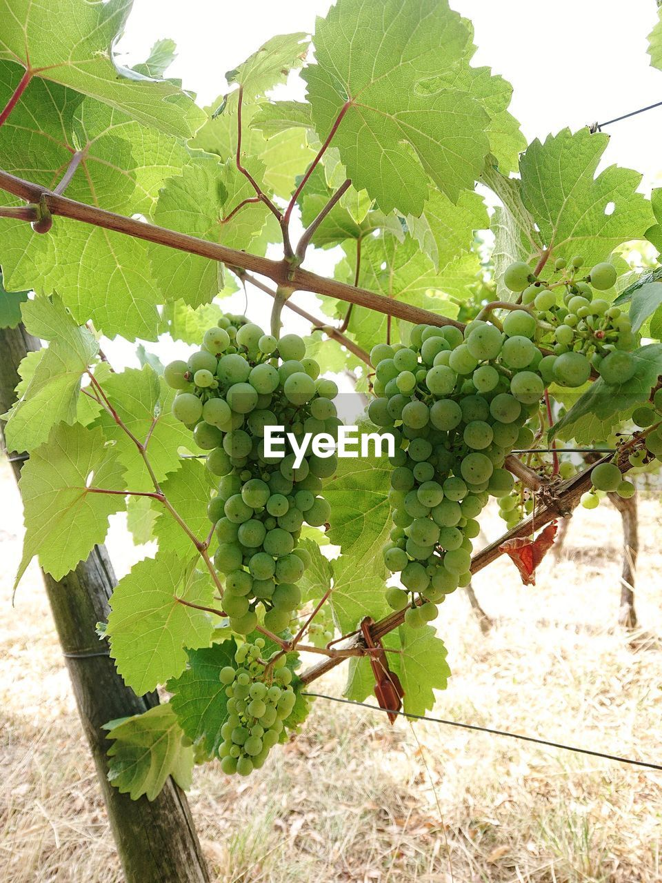plant, fruit, growth, food and drink, healthy eating, food, leaf, plant part, vineyard, green color, grape, nature, freshness, vine, agriculture, tree, day, no people, hanging, beauty in nature, outdoors, winemaking, plantation, ripe