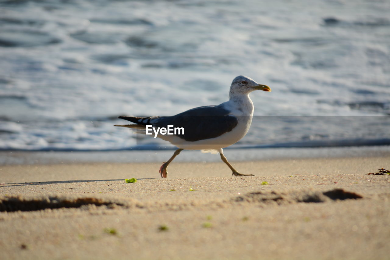 bird, beach, animal themes, animals in the wild, sand, one animal, nature, animal wildlife, day, seagull, no people, sea, outdoors, water, close-up