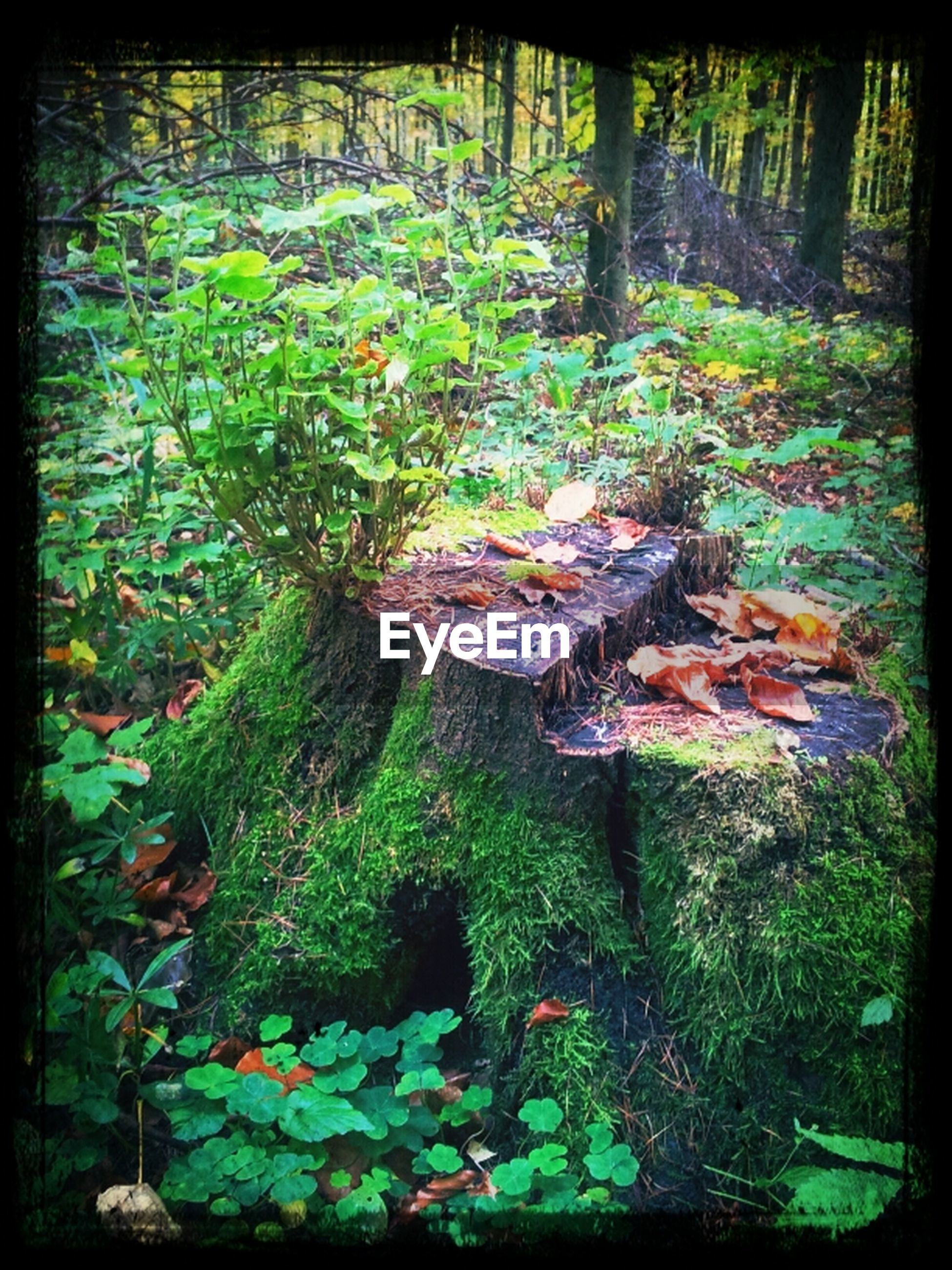 transfer print, auto post production filter, growth, nature, plant, leaf, forest, tranquility, green color, beauty in nature, moss, tree, tree trunk, day, outdoors, growing, rock - object, fallen, tranquil scene, no people