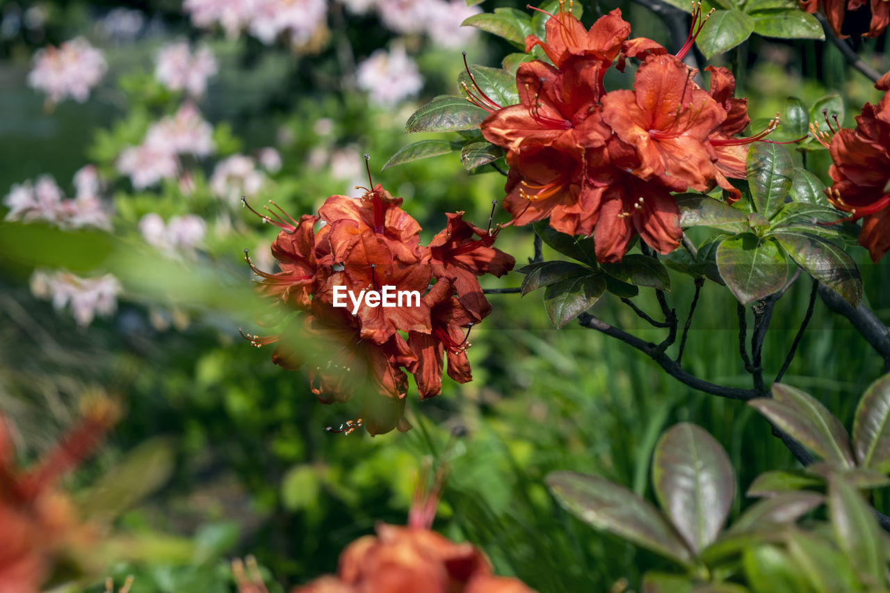 flower, flowering plant, plant, beauty in nature, close-up, freshness, growth, fragility, vulnerability, petal, nature, flower head, selective focus, red, day, plant part, leaf, inflorescence, focus on foreground, no people, outdoors