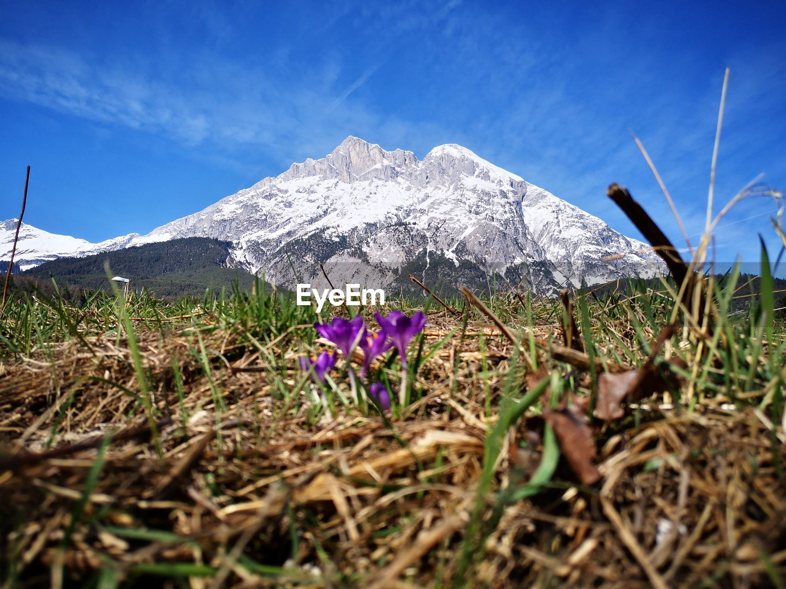 Purple flowering plants on field against snowcapped mountains