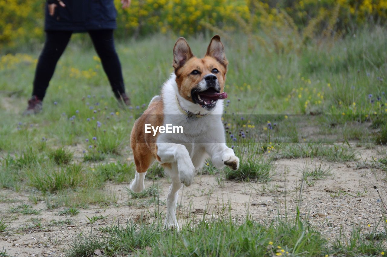 one animal, canine, mammal, dog, domestic, pets, domestic animals, grass, running, plant, motion, day, vertebrate, nature, people, pet collar, on the move, outdoors, pet owner