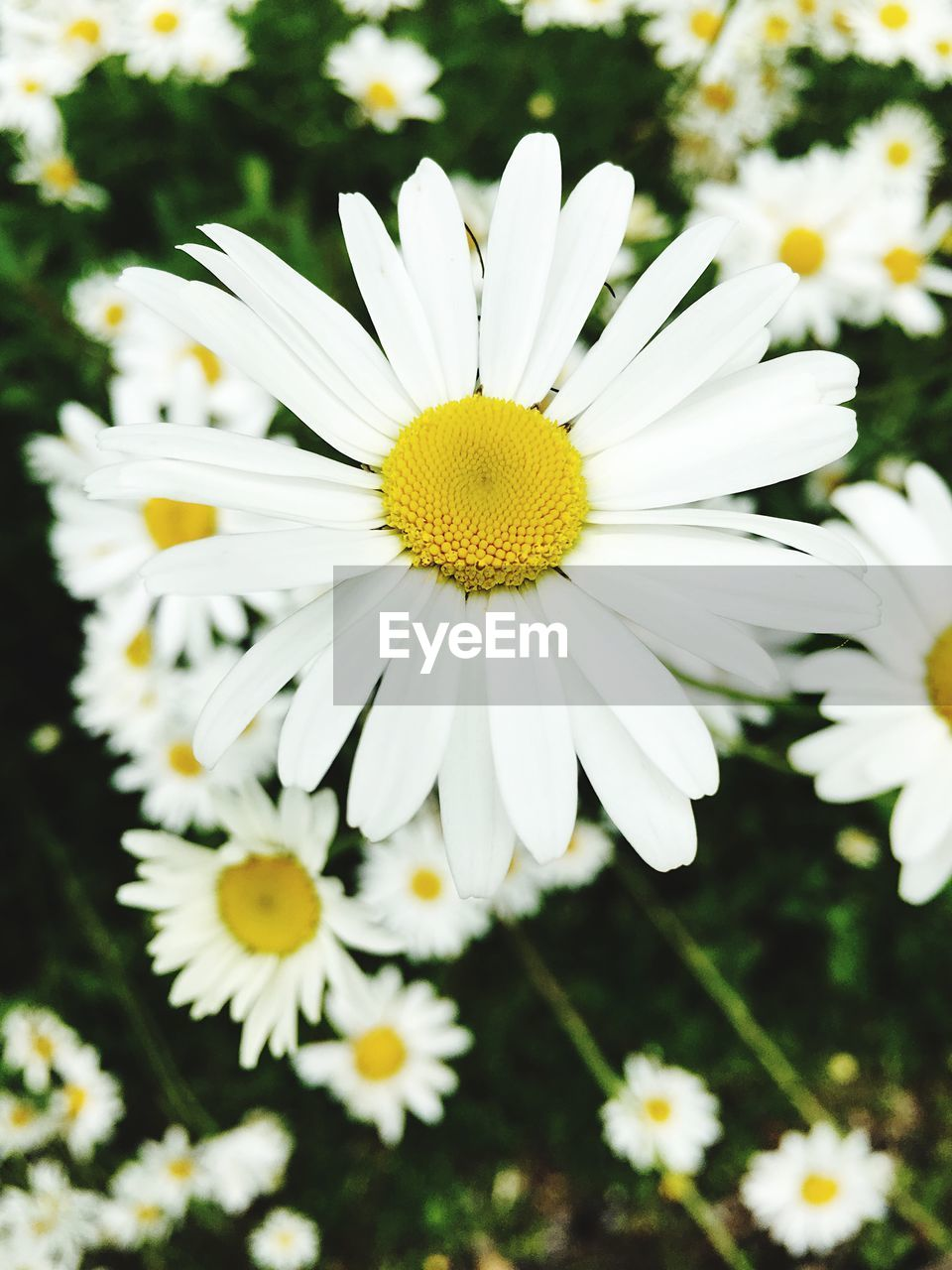 flower, petal, fragility, nature, flower head, yellow, growth, beauty in nature, white color, freshness, plant, blooming, pollen, no people, outdoors, day, close-up