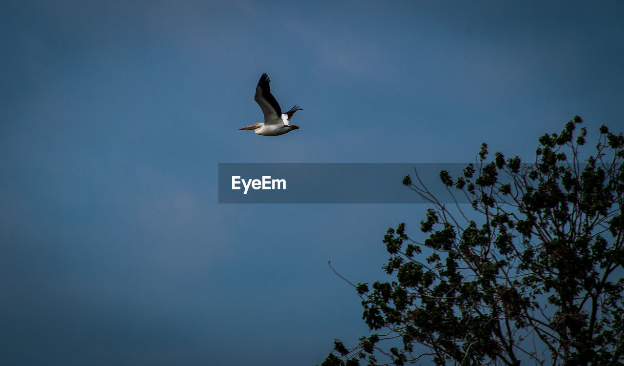 flying, animals in the wild, animal wildlife, bird, animal themes, sky, animal, vertebrate, low angle view, spread wings, nature, tree, no people, one animal, mid-air, plant, day, beauty in nature, outdoors, blue