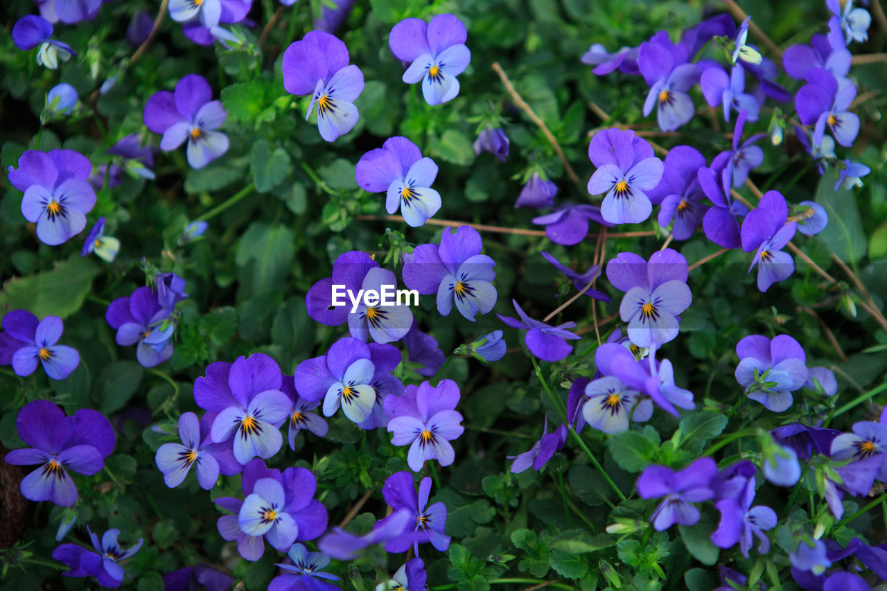 CLOSE-UP OF PURPLE FLOWERS IN PARK