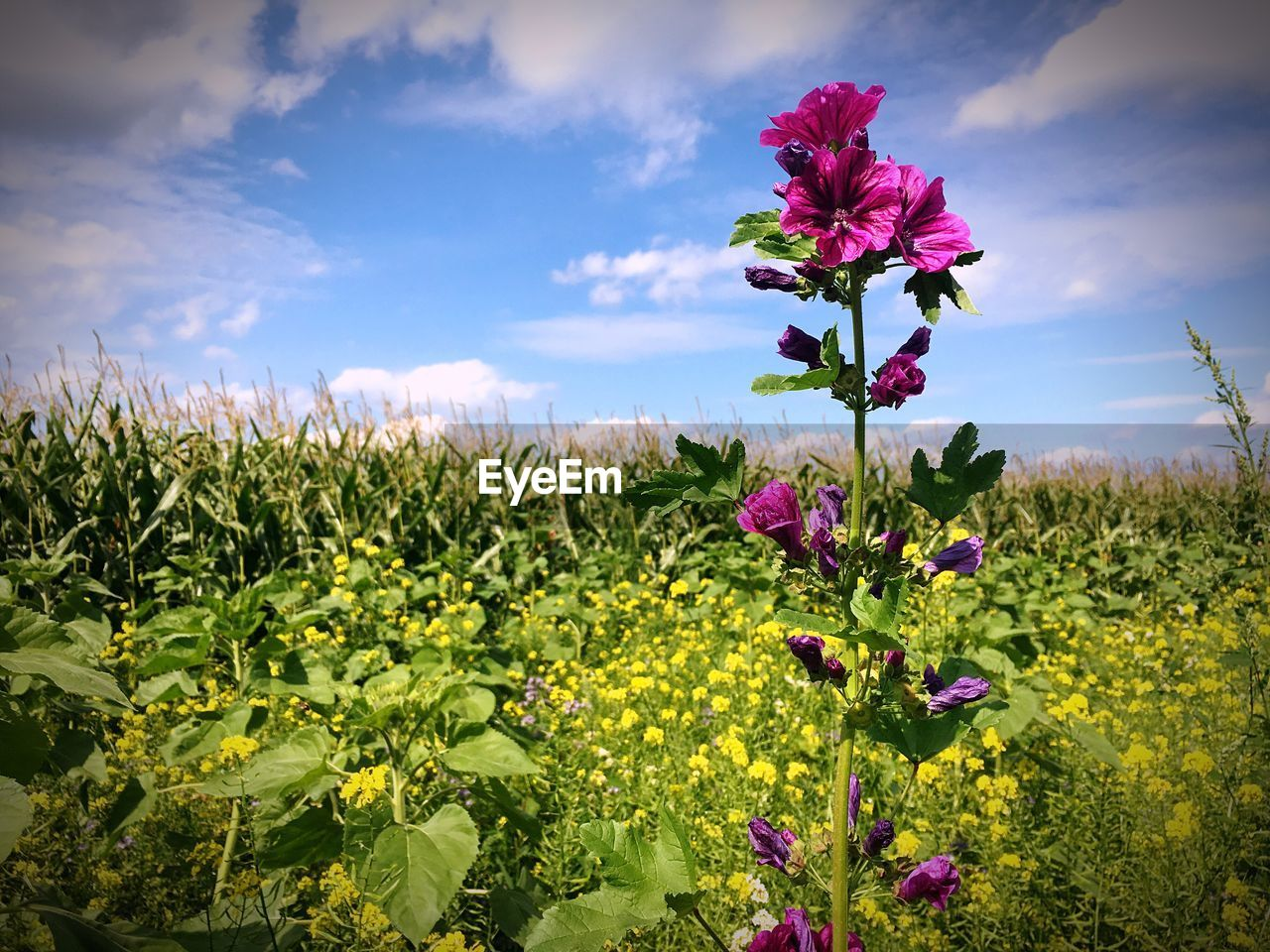 flower, growth, beauty in nature, nature, fragility, freshness, petal, sky, field, plant, cloud - sky, no people, day, outdoors, blooming, flower head, tranquility, rural scene, scenics, close-up