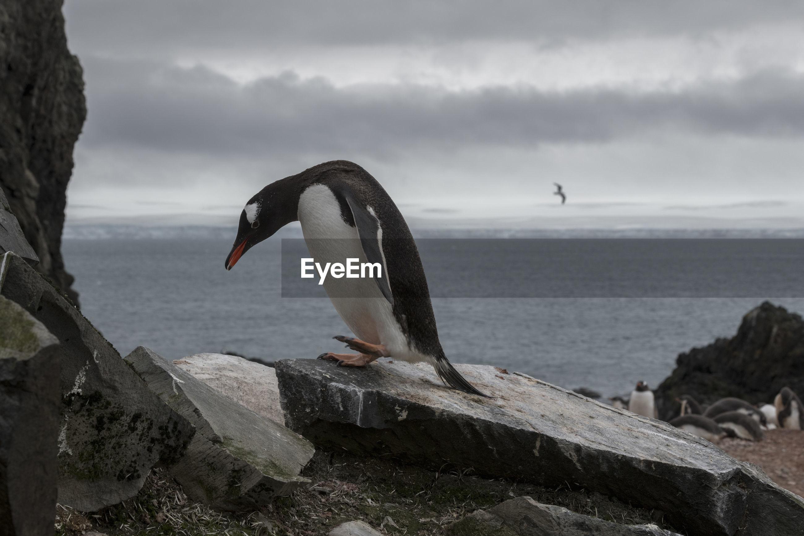 Sad looking gentoo penguin walking at a colony at livingston island, south shetlands, antarctica.