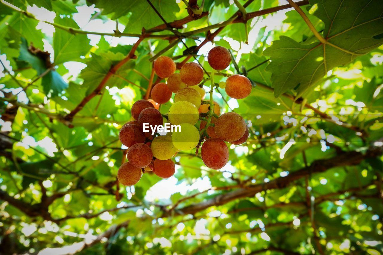 LOW ANGLE VIEW OF BERRIES GROWING ON TREE