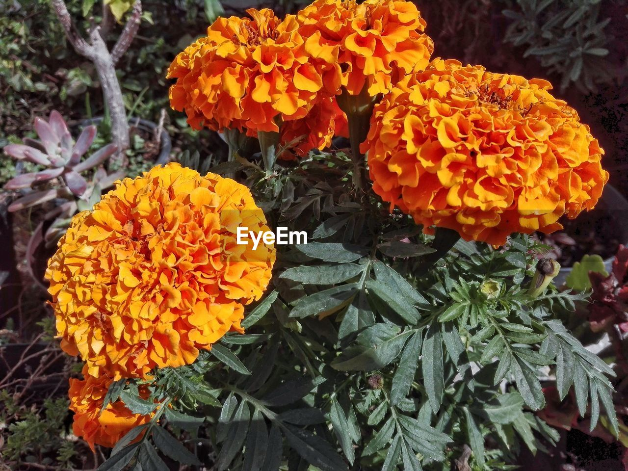 flower, growth, freshness, petal, fragility, beauty in nature, orange color, flower head, nature, blooming, plant, marigold, outdoors, no people, day, park - man made space, close-up, lantana camara, zinnia
