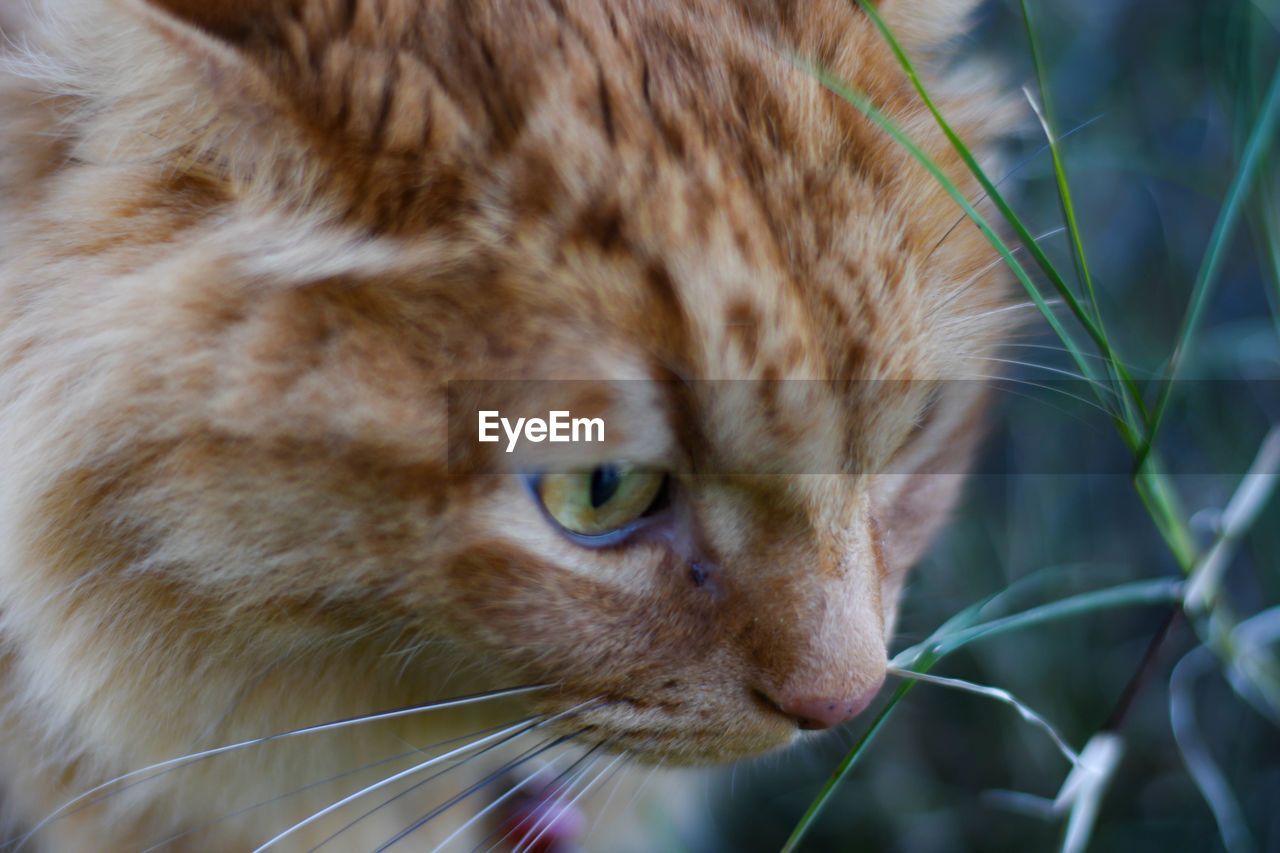 domestic cat, one animal, animal themes, feline, whisker, mammal, domestic animals, pets, close-up, no people, day, outdoors
