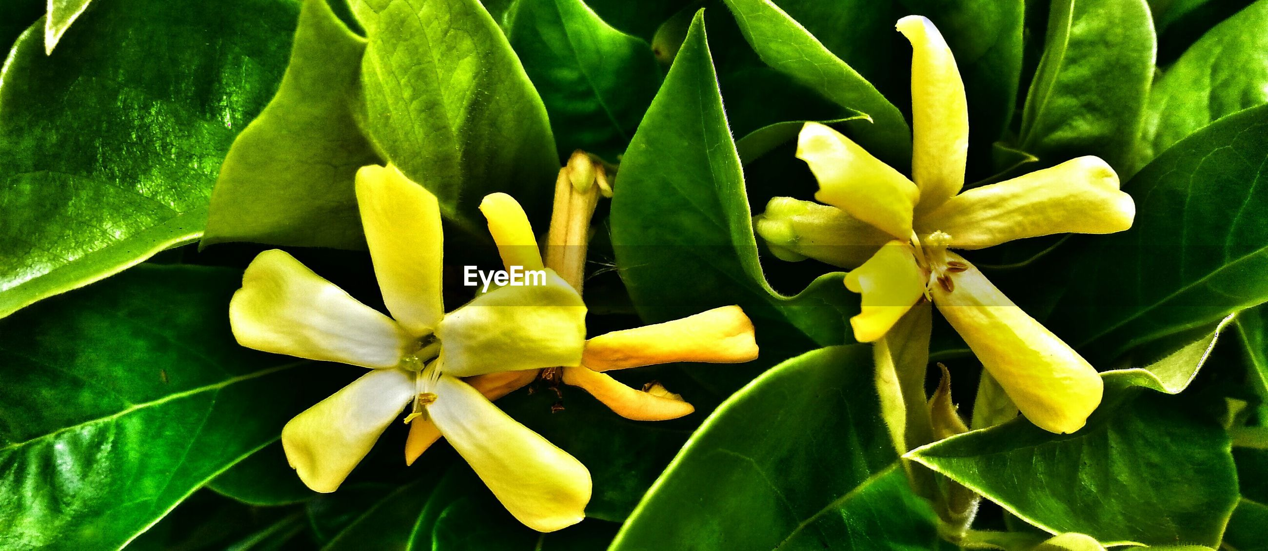 Close-up of yellow flowers blooming amidst leaves