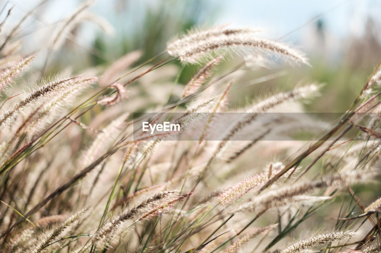 growth, plant, selective focus, nature, beauty in nature, close-up, crop, field, focus on foreground, agriculture, day, no people, land, cereal plant, tranquility, grass, outdoors, rural scene, wheat, landscape, stalk