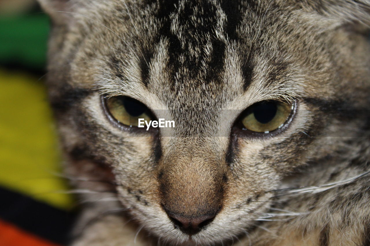 animal themes, one animal, animal, portrait, looking at camera, mammal, close-up, feline, pets, cat, domestic animals, domestic, animal body part, domestic cat, animal head, vertebrate, no people, eye, animal eye, whisker, yellow eyes, tabby, snout