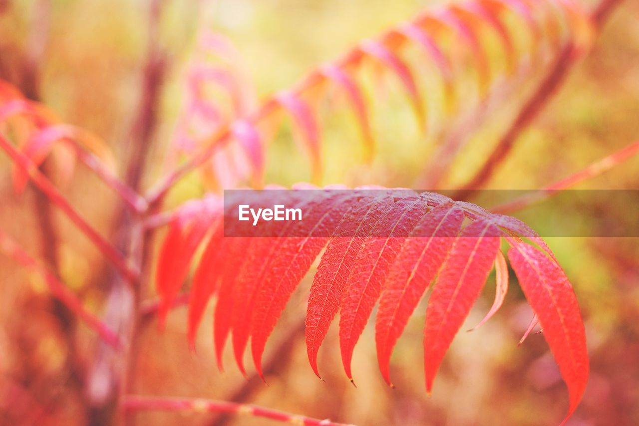 close-up, selective focus, plant, no people, beauty in nature, freshness, growth, focus on foreground, nature, day, vulnerability, fragility, pink color, red, outdoors, flowering plant, leaf, flower, botany, plant part, marine