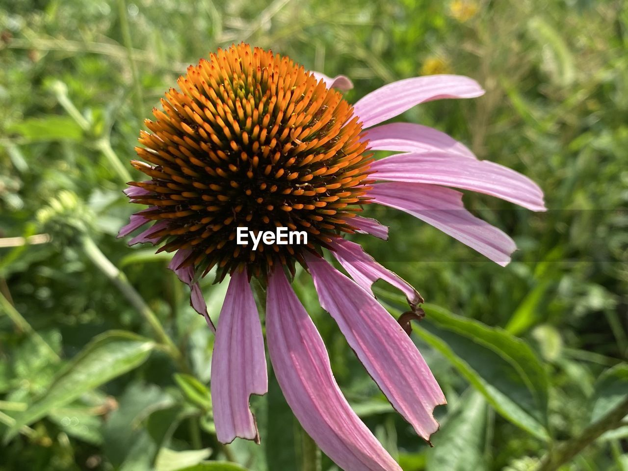 CLOSE-UP OF PINK CONEFLOWER