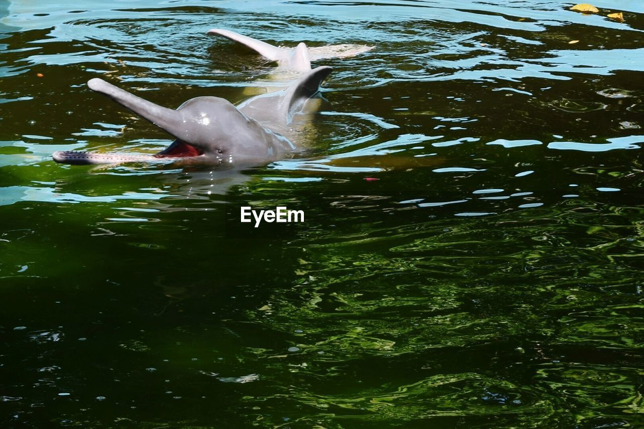 animal themes, animals in the wild, one animal, water, bird, nature, waterfront, swimming, lake, animal wildlife, day, no people, outdoors, beauty in nature, swan, spread wings