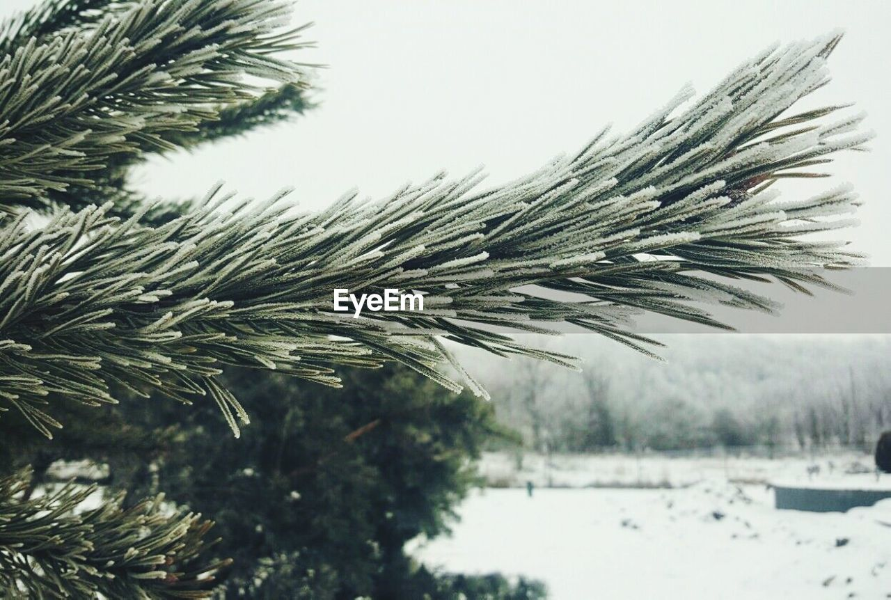 winter, snow, cold temperature, nature, weather, tree, no people, beauty in nature, focus on foreground, outdoors, day, close-up, pine tree, scenics, clear sky, spruce tree, sky, needle