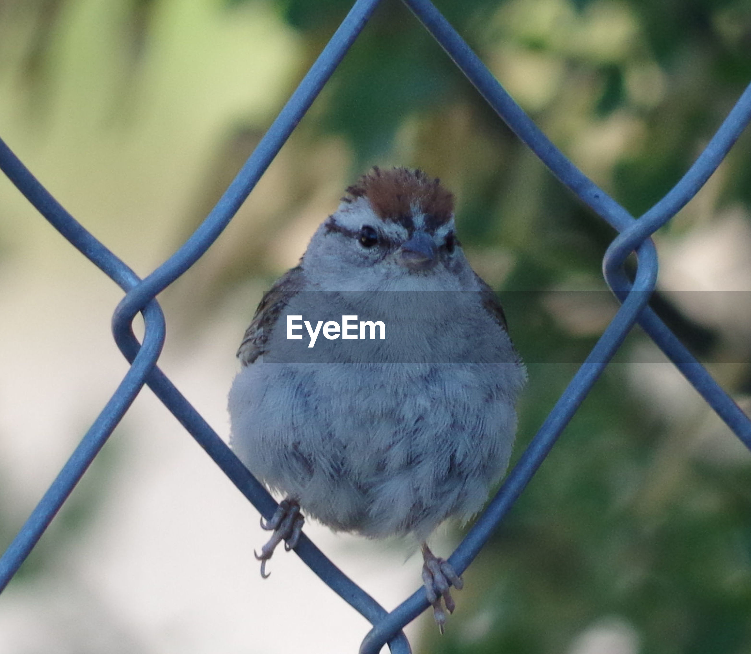 CLOSE-UP OF SPARROW PERCHING ON CHAINLINK FENCE