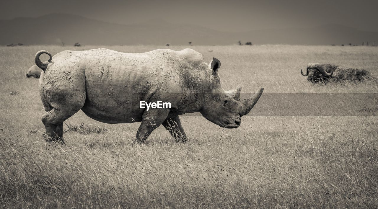 Side view of a southern white rhino walking in the open grasslands