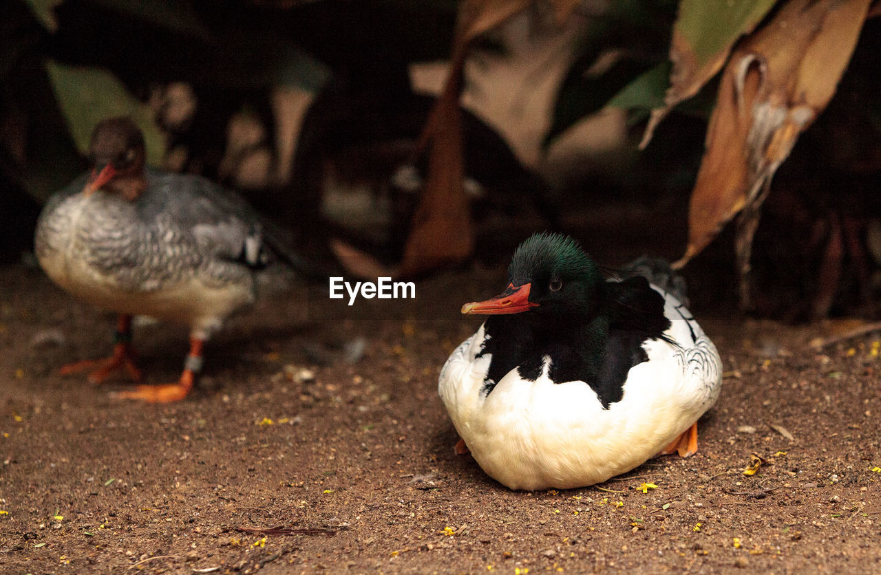 bird, animal themes, vertebrate, animal, group of animals, animals in the wild, animal wildlife, poultry, duck, no people, focus on foreground, nature, day, land, field, outdoors, close-up, muscovy duck, leaf, two animals