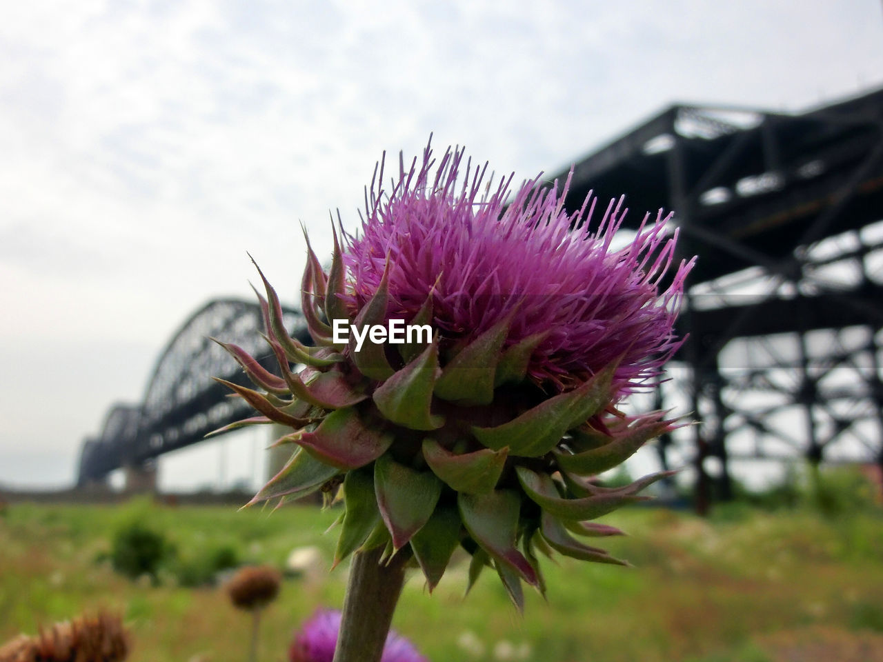 flower, nature, focus on foreground, growth, purple, beauty in nature, day, outdoors, plant, fragility, close-up, freshness, no people, thistle, flower head, sky