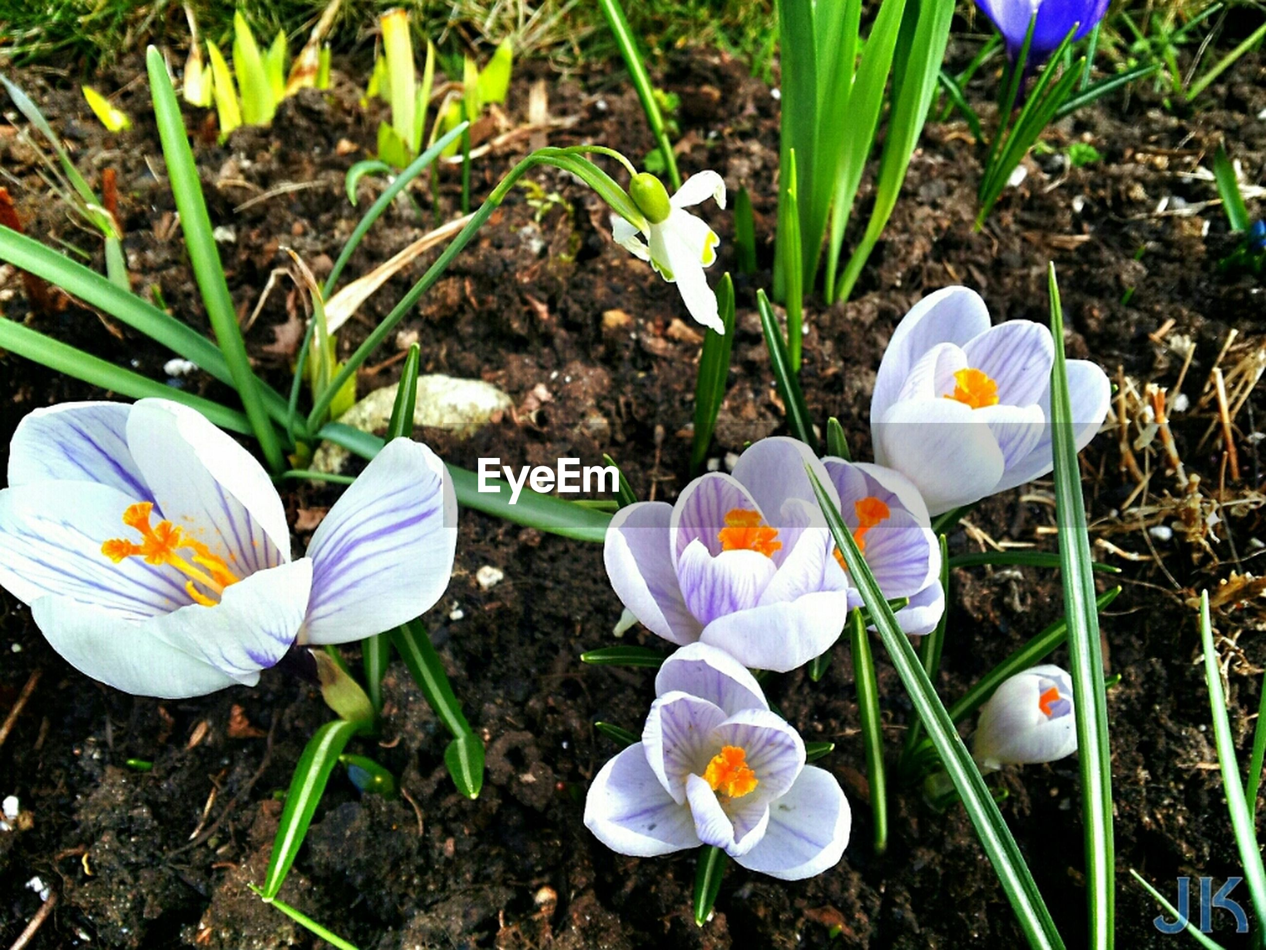 flower, petal, fragility, freshness, flower head, growth, crocus, high angle view, field, purple, beauty in nature, nature, plant, grass, blooming, white color, close-up, in bloom, blue, day