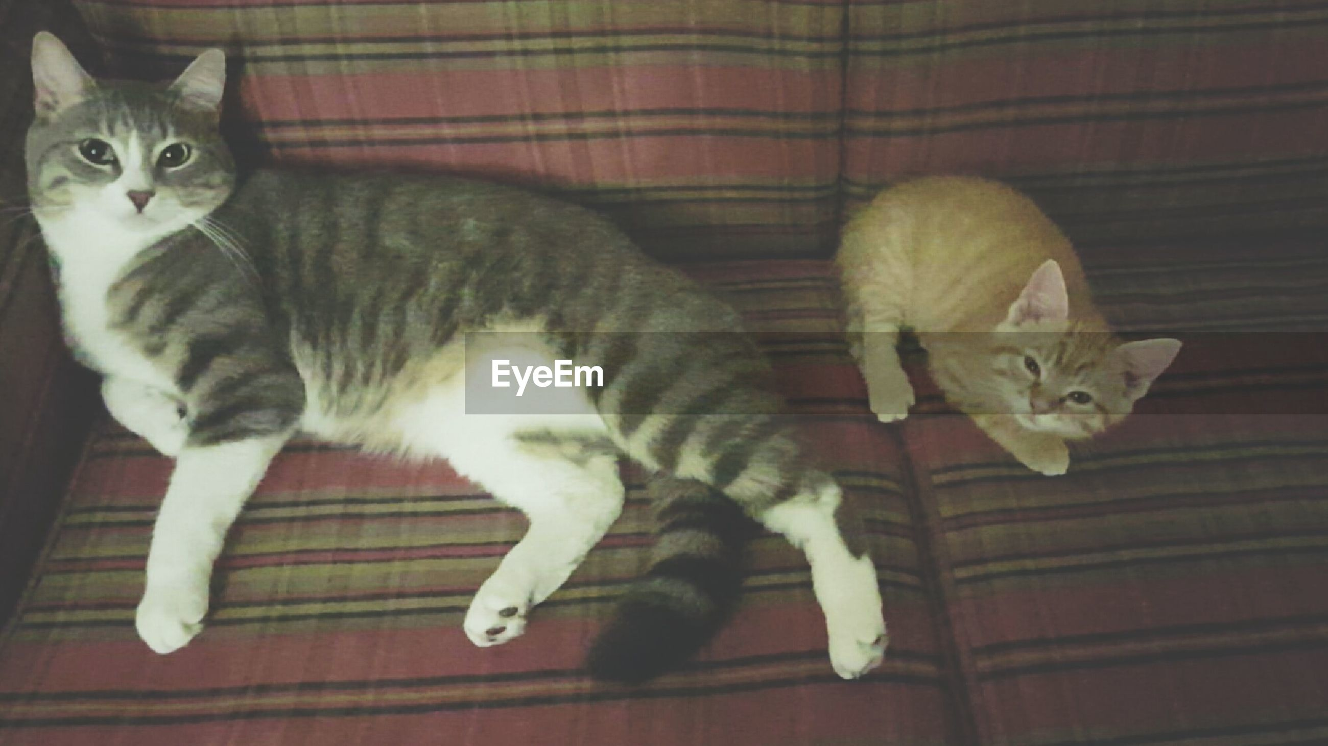 domestic cat, domestic animals, pets, cat, animal themes, mammal, one animal, feline, indoors, carnivora, whisker, in front of, tabby, no people, animal behavior