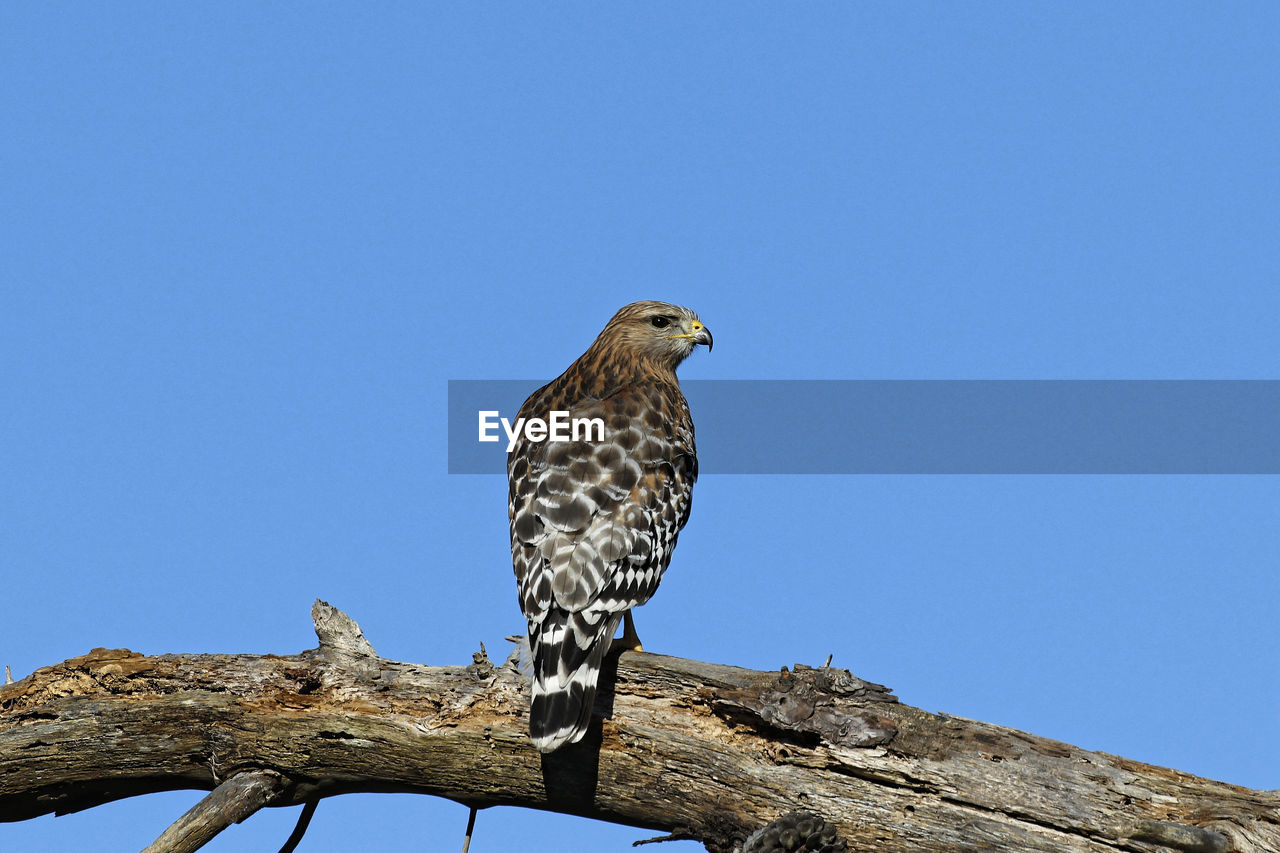 animals in the wild, animal wildlife, one animal, copy space, sky, low angle view, bird, animal, clear sky, animal themes, perching, vertebrate, blue, nature, day, no people, tree, bird of prey, outdoors, looking