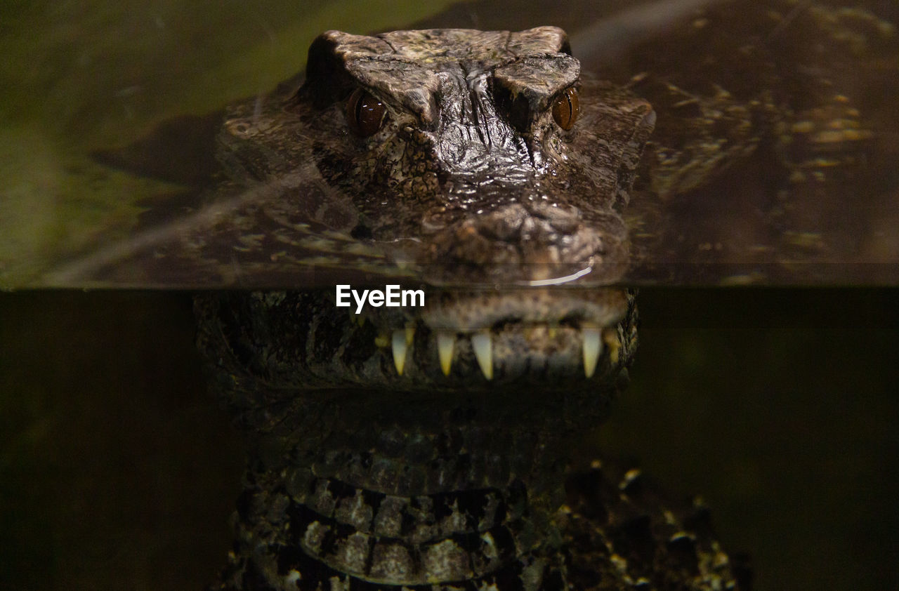 animal themes, animal, one animal, animal wildlife, animal body part, animals in the wild, crocodile, reptile, animal head, vertebrate, close-up, no people, water, nature, portrait, sign, alligator, mouth, mouth open, animal teeth, animal mouth, animal eye