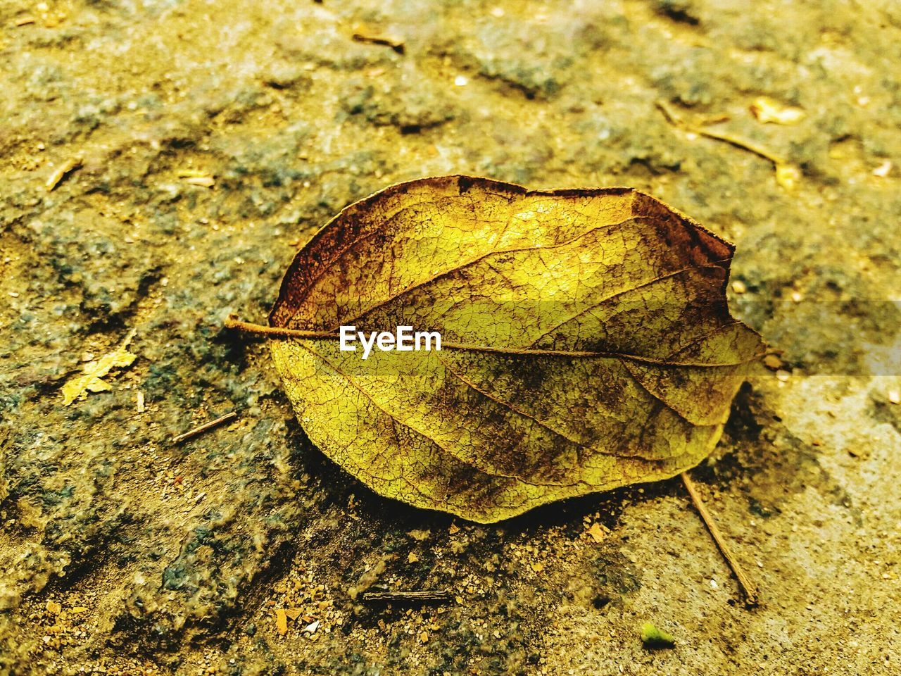 leaf, autumn, change, dry, nature, close-up, day, fragility, outdoors, high angle view, maple, no people, maple leaf, beauty in nature