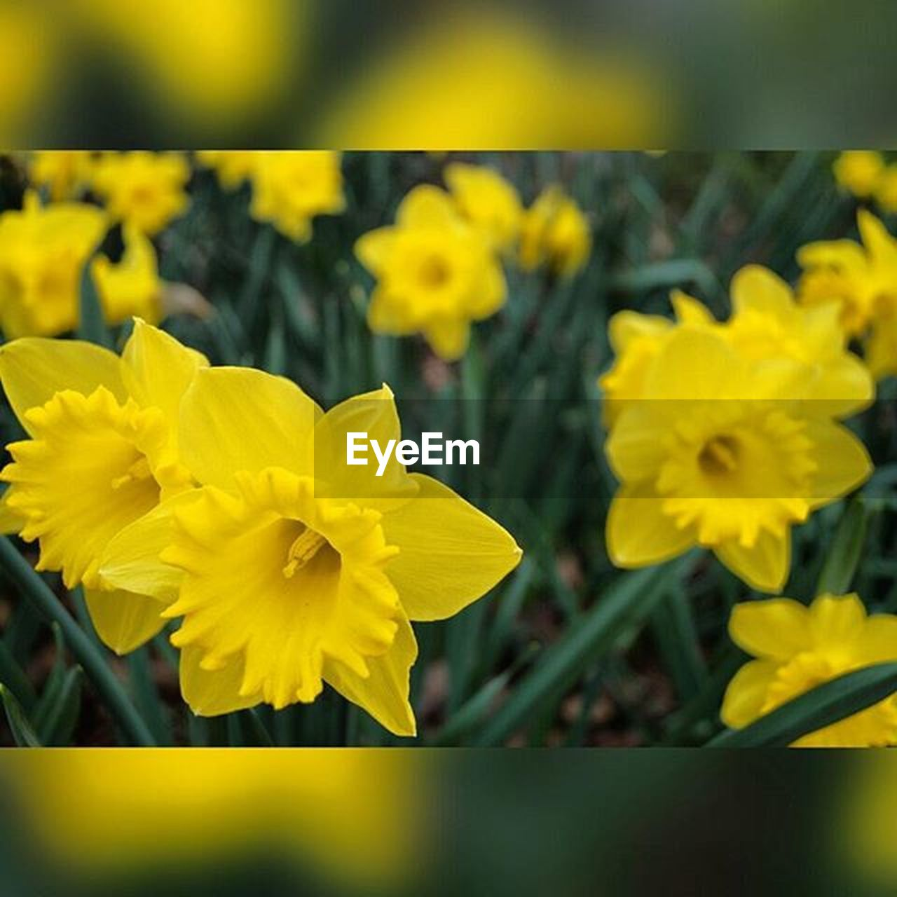 flower, yellow, nature, fragility, beauty in nature, petal, freshness, growth, vibrant color, plant, blossom, daffodil, selective focus, day, flower head, outdoors, close-up, springtime, no people